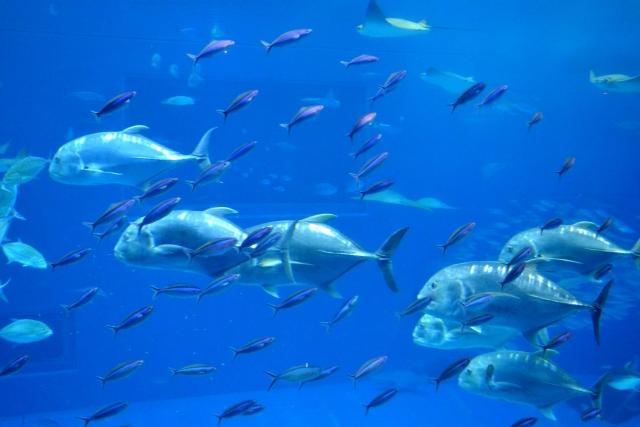 まぐろ魚群